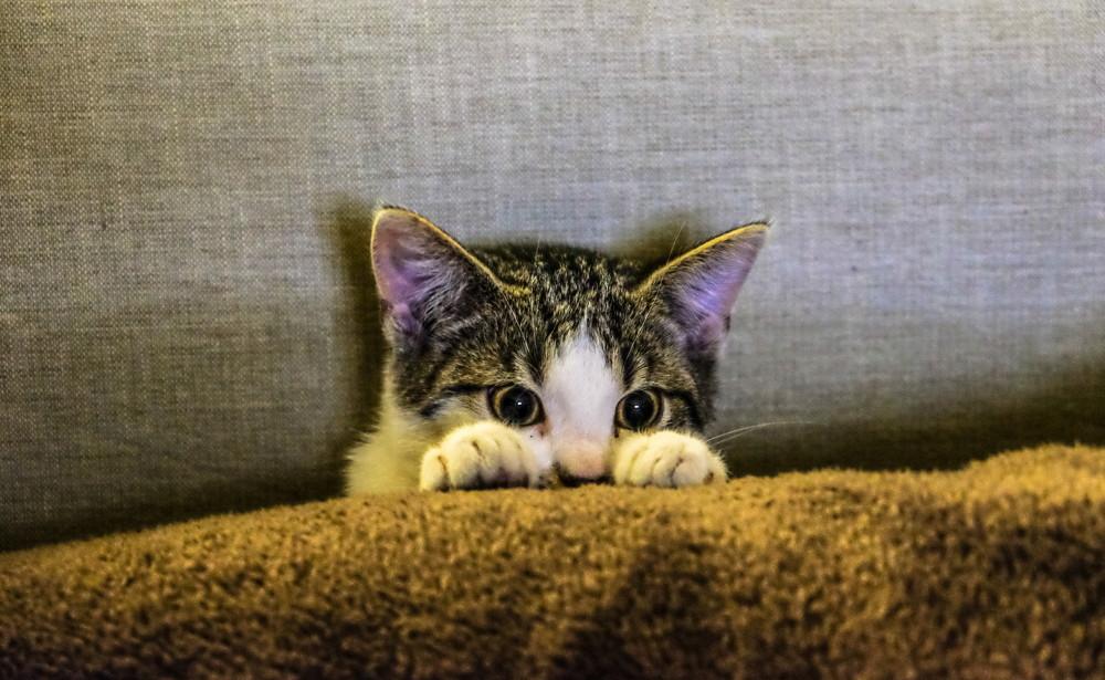 czemu kot mruczy