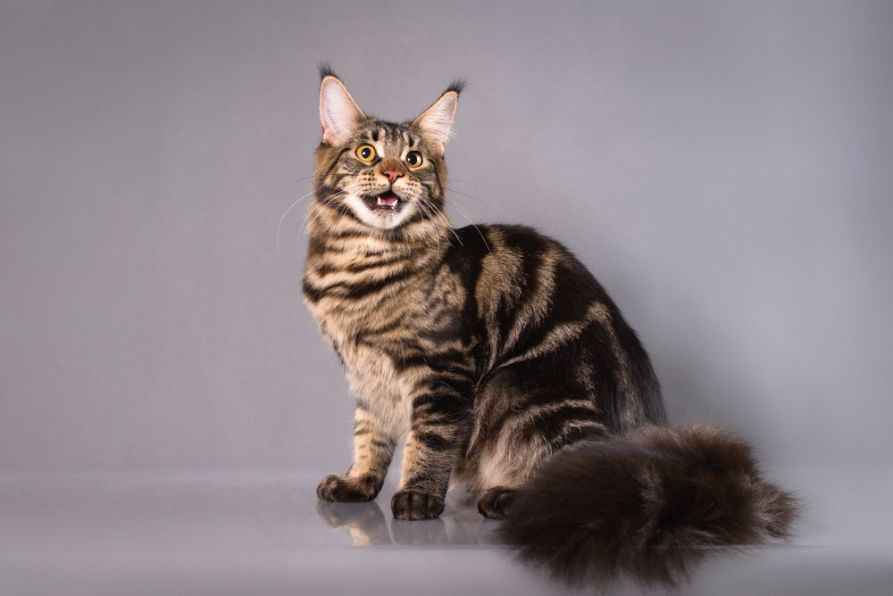 majnkun charakter kotka i kocur