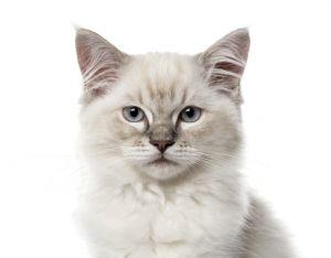 mały kot ragdoll