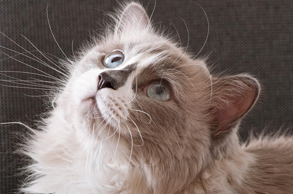 ragdoll z błękitnymi oczami