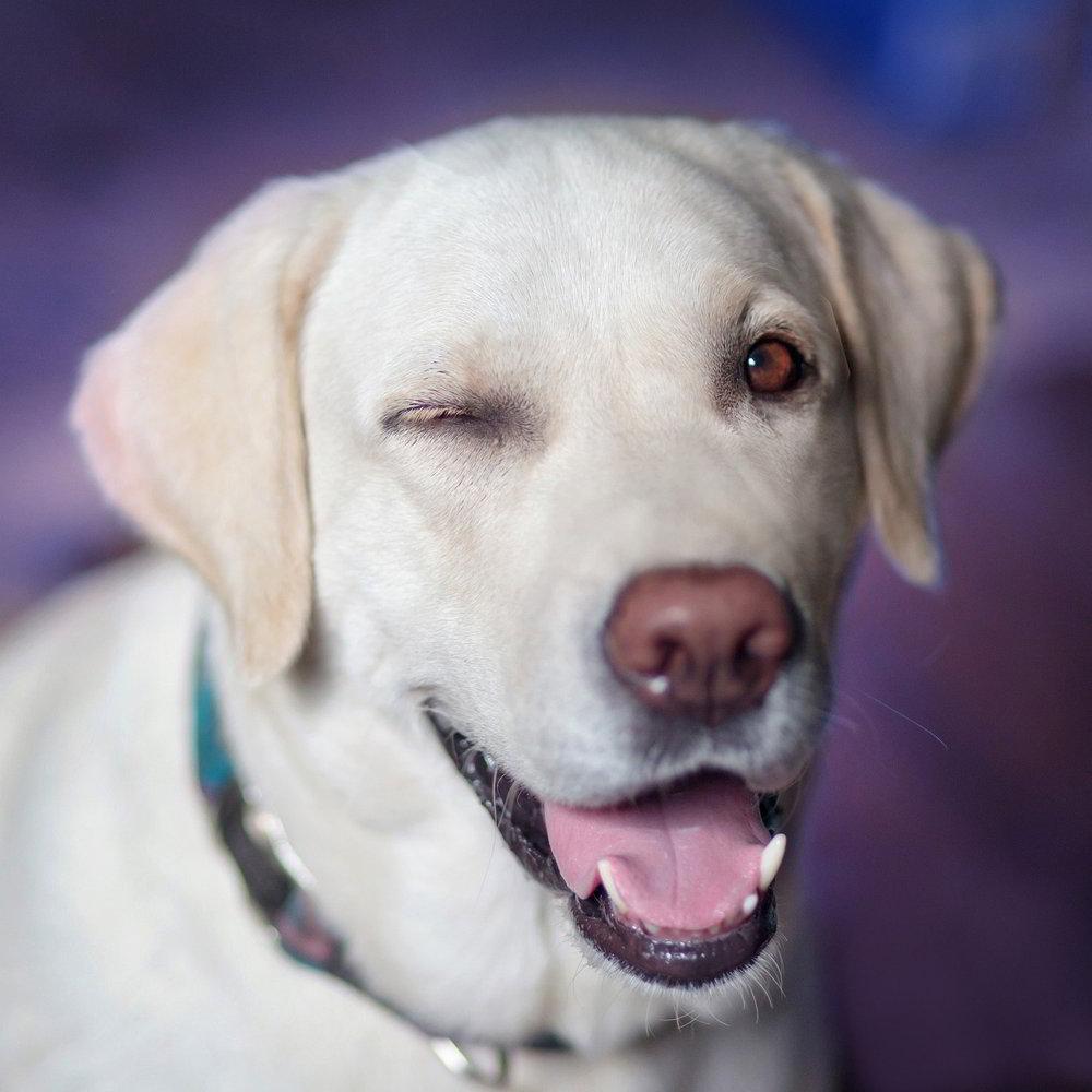 psy które nie gubią sierści
